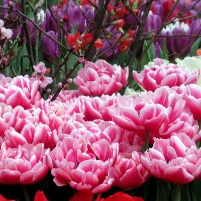Огромный предзаказ луковичных! От 11 рублей! Последняя! — Тюльпаны Махровые поздние (пачками) — Декоративноцветущие