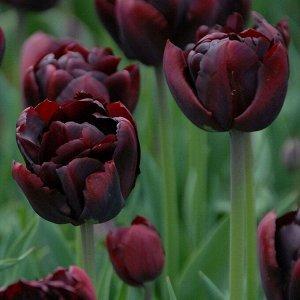 Пальмира Луковицы тюльпана махрового раннего Пальмира относятся к пионовидным сортам. В высоту цветонос достигает 45 сантиметров, поэтому тюльпаны подходят для выращивания на передних планах клумб и д