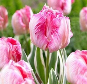 Элсенбург Попугайные тюльпаны  -  тюльпаны этого класса имеют самый необычный и экзотический вид: лепестки их имеют глубоко изрезанные края, иногда волнистые, чем напоминают растрепанные птичьи перья.