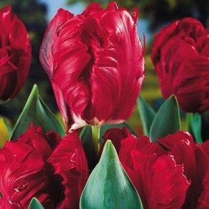Топпэррот Попугайные тюльпаны  -  тюльпаны этого класса имеют самый необычный и экзотический вид: лепестки их имеют глубоко изрезанные края, иногда волнистые, чем напоминают растрепанные птичьи перья.