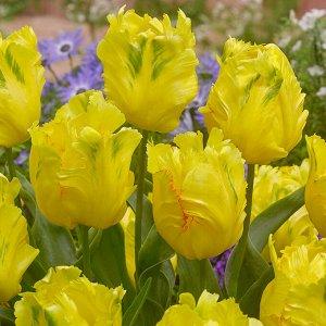 Техас Голд Попугайные тюльпаны  -  тюльпаны этого класса имеют самый необычный и экзотический вид: лепестки их имеют глубоко изрезанные края, иногда волнистые, чем напоминают растрепанные птичьи перья