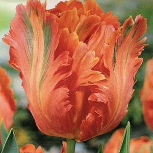 Сан Пэррот Попугайные тюльпаны  -  тюльпаны этого класса имеют самый необычный и экзотический вид: лепестки их имеют глубоко изрезанные края, иногда волнистые, чем напоминают растрепанные птичьи перья