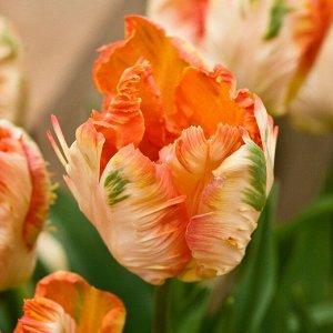 Онедин Попугайные тюльпаны  -  тюльпаны этого класса имеют самый необычный и экзотический вид: лепестки их имеют глубоко изрезанные края, иногда волнистые, чем напоминают растрепанные птичьи перья. Ши