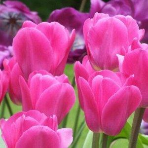 Барселона Триумф-тюльпаны -  для тюльпанов этого класса характерны крупные бокаловидные цветки, довольно высокие цветоносы (40-70см) и хороший коэффициент размножения. Окраска цветов у тюльпанов этого