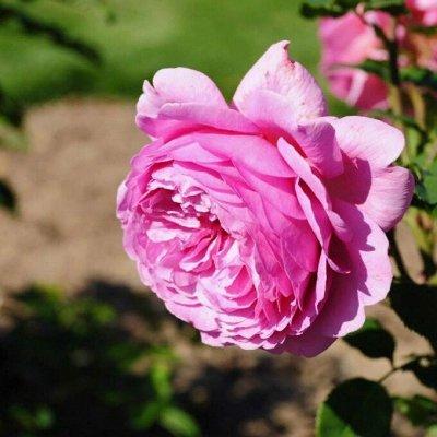 ✿✿✿ Саженцы роз ✿✿✿ 6 — Розы — Декоративноцветущие
