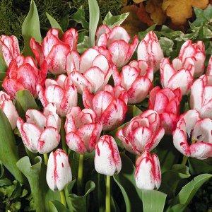 Дениз Триумф-тюльпаны -  для тюльпанов этого класса характерны крупные бокаловидные цветки, довольно высокие цветоносы (40-70см) и хороший коэффициент размножения. Окраска цветов у тюльпанов этого кла