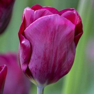 Пёпл Леди Триумф-тюльпаны -  для тюльпанов этого класса характерны крупные бокаловидные цветки, довольно высокие цветоносы (40-70см) и хороший коэффициент размножения. Окраска цветов у тюльпанов этого
