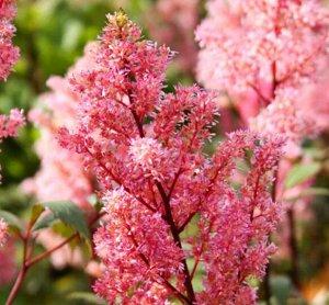 Лоллипоп Рассада астильбы Арендса Лоллипоп отличается красивыми соцветиями кораллового цвета, равномерно расположенными на кроне растения. Листья здесь небольшие, имеют глянцевый блеск. Примечательно,