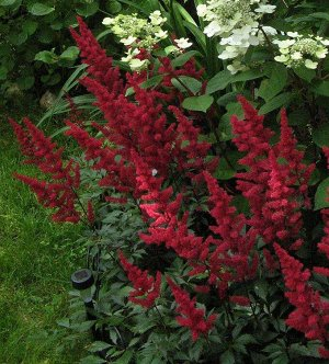 Ред Чарм Саженцы астильбы Арендса Ред Чарм (Red Charm) обладают внушительными размерами и радуют цветением уже в июне. На верхушках метровых, слегка поникающих цветоносов формируется рыхлая метёлка дл