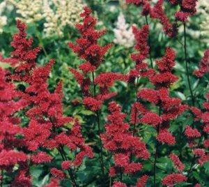Фанал Саженцы астильбы Арендса Фанал вырастают в красивое растение высотой 0,8 м и шириной 60 см. Во время цветения на нем образуется множество соцветий красного цвета. Средний диаметр соцветия достиг