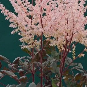 Спотлайт Китайская Высота см: 40-50  Саженцы астильбы китайской Спотлайт (Spotlight) образуют компактное растение с эффектным бело-розовым цветением. Метельчатые соцветия, собранные из сотен мелких бу