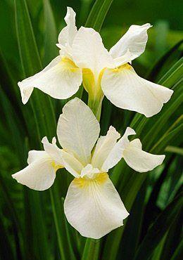 Вайт Свёл Саженцы и рассада сибирского ириса Вайт Свил (Iris sibirica) привлекательны высокой стойкостью к низким температурам. Сорт специально создавался для холодных регионов. Ирис хорошо себя чувст