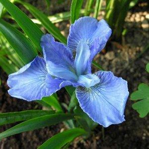 Диэ Дилайт Саженцы сибирского ириса Диэ Дилайт (Iris siberica Dear Delight) привлекают внимание высокорослостью. Стебли вырастают до 1 м. Листья узкие, удлиненные, линейной формы, насыщенного зеленого