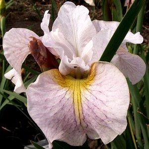Лемон Вейл Луковицы ириса сибирского Лемон Вейл способны облагородить любой участок во время цветения. Его цветы имеют классический оттенок, который можно сравнить с благородными розами или лилиями. В