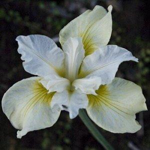 Мун Силк Саженцы и рассада сибирского ириса Мун Силк (Iris sibirica) привлекательны для садоводов нежной окраской цветков. Растение формирует компактный кустик из декоративных темно-зеленых листьев. В