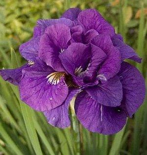 Тамбл Баг Саженцы и рассада ириса сибирского Тамбл Баг (Iris sibirica) хорошо приживаются на солнечных или полузатененных участках. Кроме достаточного доступа к влаге, считается неприхотливым растение