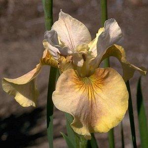 Уайт Эмбер Луковицы ириса сибирского Уайт Эмбер станут одним из главных украшений сада, когда весь куст покроется цветами. Их желто-розовая окраска на свету кажется переливающейся разными оттенками. Н