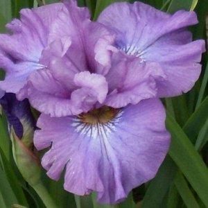 Роузи Бауз Ирис сибирский – высота растения 80-100 см, листья линейные, заостренные, образующие густой темно-зеленый куст. Цветки фиолетово-синие или светло-фиолетовые. Морозостоек. Цветение июнь. Мес