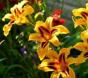 Бонанза Эти чудесные многолетники с цветками, похожими на лилии, давно приглянулись садоводам. Да и как могут не понравиться зимостойкие, неприхотливые цветы, которые хорошо разрастаются, долго сохран