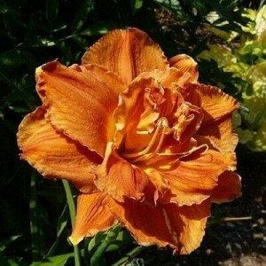 Даблишес Саженцы и рассада гибридного Лилейника Дабллишес (Hemerocallis) относятся к декоративным цветам высотой 65-70 см, замечательно приживающихся в умеренно-влажных почвах в тени или на открытом у