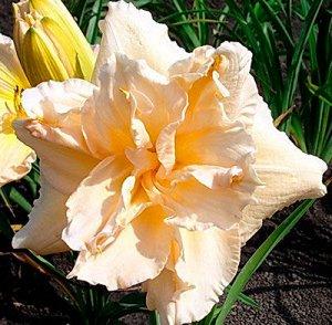 Жан Свон Саженцы и рассада Лилейника гибридного Жан Свон (Hemerocallis Jean Swan) — это очень нежное, ароматное и одновременно крепкое и устойчивое растение. После посадки цветы быстро укореняются и а