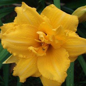 Кондилла Саженцы лилейника гибридного Кондилла (Hemerocallis) — это декоративные многолетние цветы. Растение подходит для озеленения газонов и оформления бордюров. Для посадки предпочтительны глинисты