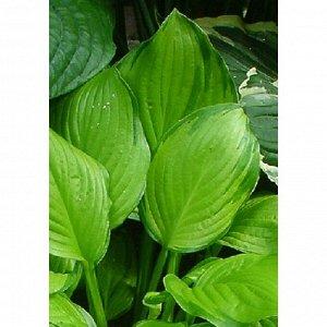 Адорабл Размер растения: 50*80  Луковицы хосты гибридной Адорабл весной активно выпускают свежую поросль, которая формирует аккуратный куст, не превышающий в высоту 50 сантиметров. Ее блестящие листья