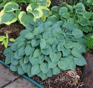 Блу Кадет Луковицы хосты гибридной Блу Кадет формируют очень аккуратный, плотно набитый листьями куст, в высоту достигающий 40 сантиметров. Листья имеют зелено-голубой оттенок, причем с верхней сторон