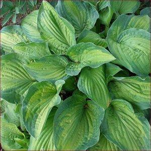 Парадигма Размер растения: 50*100  Луковицы хосты гибридной Парадигма не будут лишними ни на одном садовом участке. Компактные размеры растения, не превышающего в высоту 20 сантиметров, позволят садов