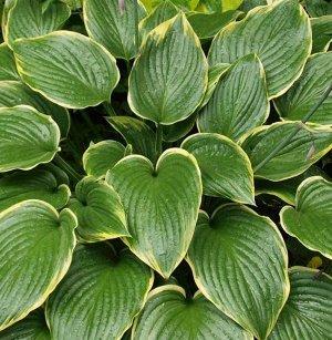 Примадонна Размер растения: 55*120  Луковицы хосты гибридной Примадонна ― представители одного из крупных сортов, им понадобится достаточно места для того, чтобы хоста проявила себя во всей красе. В ш