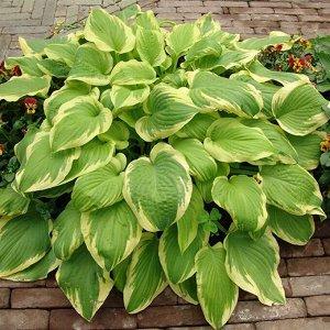 Дельта Дон Размер растения: 40*80  Хосты - многолетние растения с компактным или коротковетвистым корневищем. Листья прикорневые, на черешках, сравнительно крупные, разной окраски и формы: зеленые, го