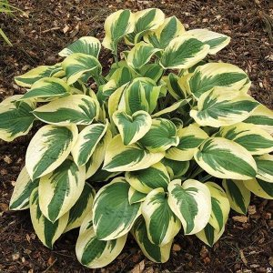 Вайд Брим Размер растения: 50*75  Хосты - многолетние растения с компактным или коротковетвистым корневищем. Листья прикорневые, на черешках, сравнительно крупные, разной окраски и формы: зеленые, гол