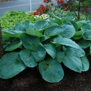 Биг Дэдди Размер растения: 60*90  Хосты - многолетние растения с компактным или коротковетвистым корневищем. Листья прикорневые, на черешках, сравнительно крупные, разной окраски и формы: зеленые, гол