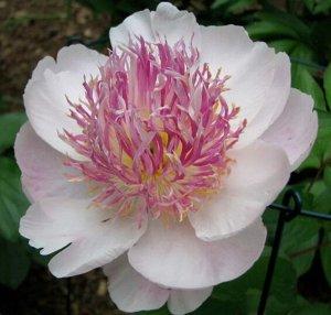 Ду Телл Саженцы и рассада пиона травянистого Ду Телл (Do Tell Paeonia) – высадив их в своём саду, вы получите множество цветов, из которых можно собрать великолепные букеты нежных тонов.  Взрослое рас
