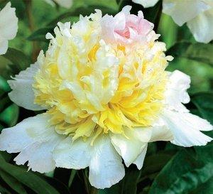 Топ Брасс Саженцы и рассада пиона травянистого Топ Брасс (Top Brass Paeonia) – цветы этого сорта всегда заметны среди других растений.  В высоту куст достигает от 80 до 100 сантиметров. Листьев на сте