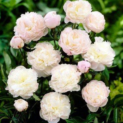 Невероятные сорта! Лилии, розы, пионы! На осеннюю посадку!  — Пионы молочноцветковые — Декоративноцветущие