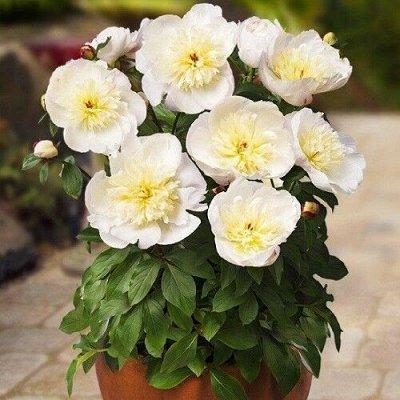 """Невероятные сорта! Лилии, розы, пионы! На осеннюю посадку!  — Пионы травянистые для """"ПАТИО"""" — Декоративноцветущие"""