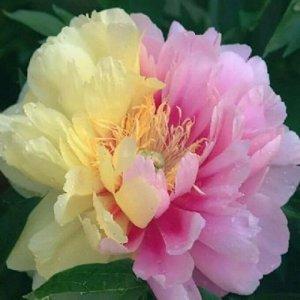 Лемон Дрим Саженцы пиона ИТО Лемон Дрим (Lemon Dream) приобретают садоводы, ценящие у растений неприхотливость и пышное цветение. Гибридные сорта пионов проще в выращивании и обладают высокой зимостой