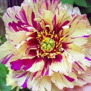 Лоллипоп * Саженцы пиона Ито-гибрид Лоллипоп (Pion Ito Lollipop) относятся к декоративным красивоцветущим многолетникам. Высаживают растения на бордюры приусадебных участков. Пион прекрасно смотрится