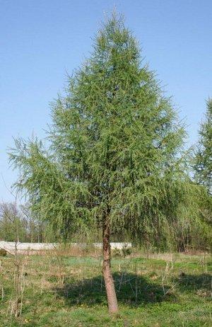 Лиственница ольгинская (около 300 семян)
