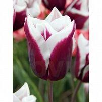 Луковичные(тюльпаны, нарциссы) предзаказ на осень 2020 -2/20 — Триумф тюльпаны — Декоративноцветущие