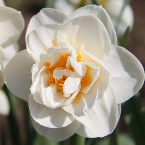 Луковичные(тюльпаны, нарциссы) предзаказ на осень 2020 -2/20 — НАРЦИССЫ Махровые — Декоративноцветущие