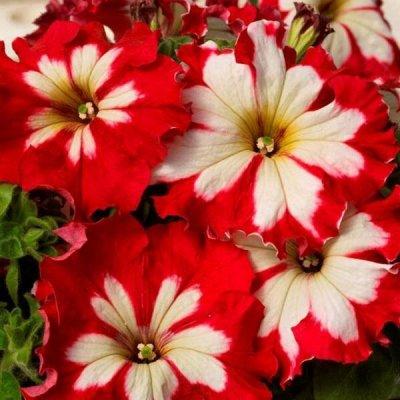 Семена плодово-ягодных кустарников и других растений — Семена однолетних цветов — Семена однолетние