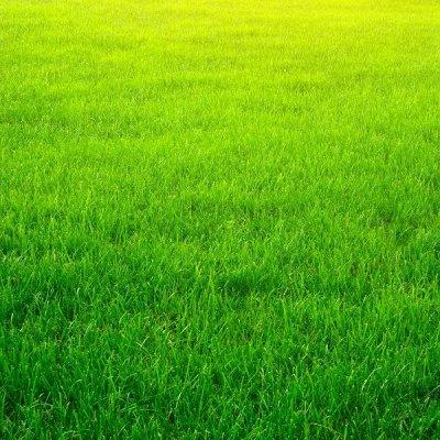Семена плодово-ягодных кустарников и других растений — Газон, сидераты, медоносы — Семена газонных трав