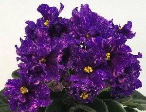 Фиалка Крупные махровые сине - фиолетовые цветы испещрены розовым фэнтези, по мере взросления цветка проявляется пурпурно - красный ореол . Аккуратная, ровная розетка из зелёных изумрудных листьев. Ша