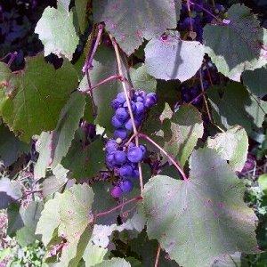 Виноград приречный Зеленая гора