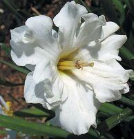 Луковичные(тюльпаны, нарциссы). Свободное на осень — Нарциссы с расщепленной коронкой