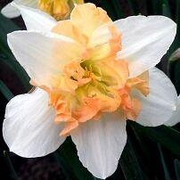 Луковичные(тюльпаны, нарциссы) предзаказ на осень 2020 -2/20 — Нарциссы  с расщеплённой коронкой — Декоративноцветущие