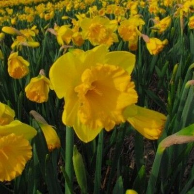 Луковичные(тюльпаны, нарциссы) предзаказ на осень 2020 -2/20 — Нарциссы трубчатые — Декоративноцветущие