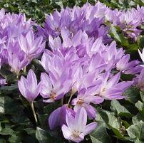 Луковичные(тюльпаны, нарциссы) предзаказ на осень 2020 -2/20 — РАЗЛИЧНЫЕ ЛУКОВИЧНЫЕ — Декоративноцветущие